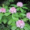Wild Pacific rhodies in bloom
