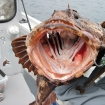 lingcod mouth