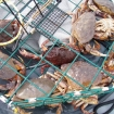 Dungeness crab in the pot