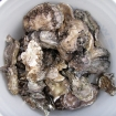 fresh Hood canal oysters
