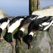 merganser drakes. American and Red breast