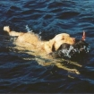 Marley dog  retrieving a surf 2002