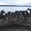surf scoter limits