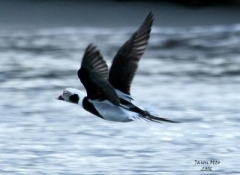 oldsquaw longtailed duck