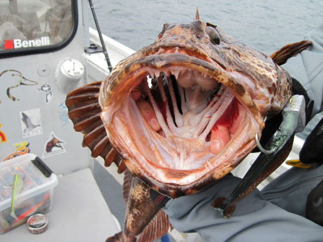 Lingcod Season In Full Swing